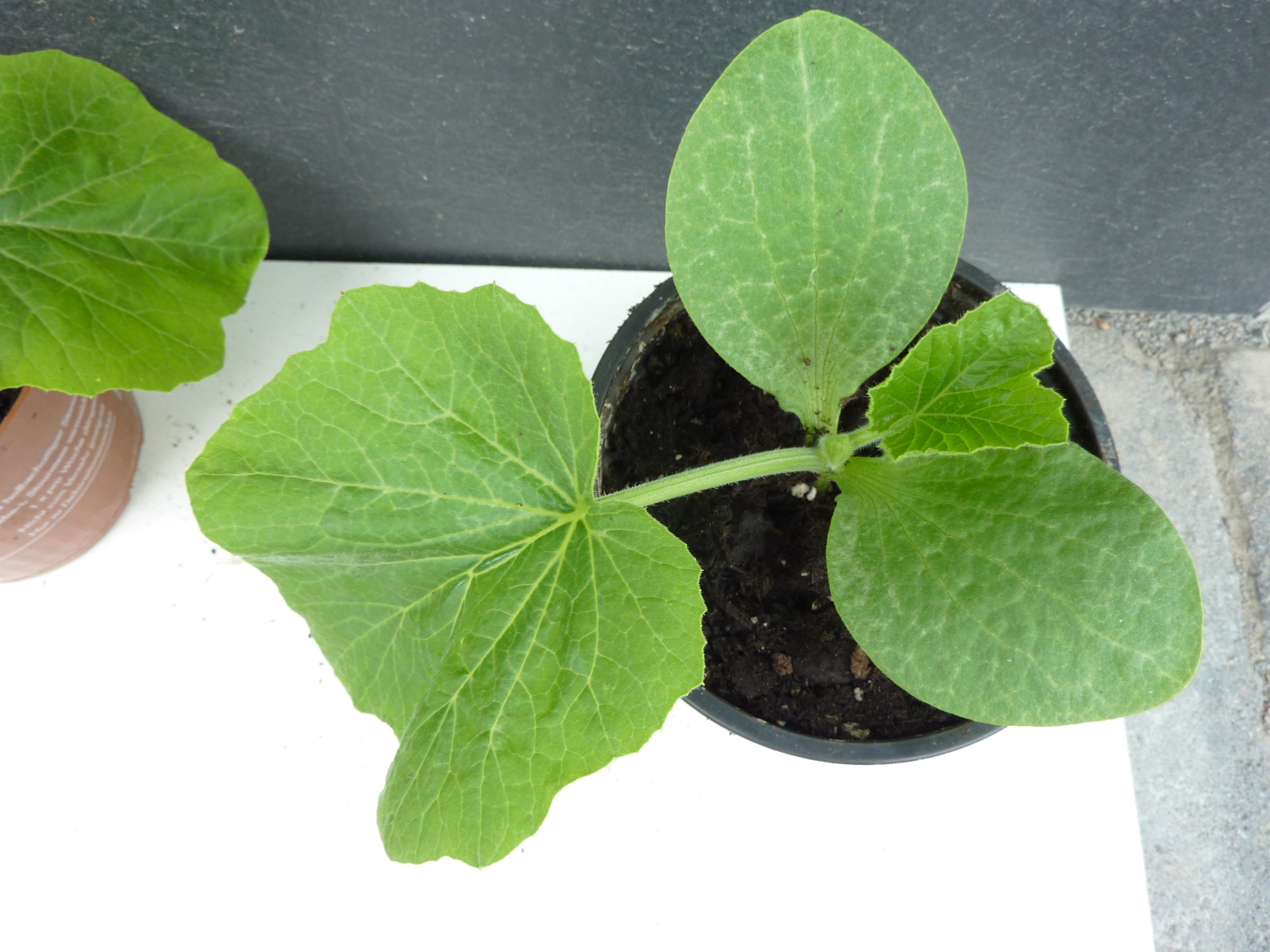hokkaido 2 pflanzen jungpflanze setzling speisek rbis zucchini pflanze top ebay. Black Bedroom Furniture Sets. Home Design Ideas
